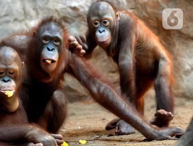 FOTO: Tingkah Lucu Orangutan dan Gajah di Taman Margasatwa Ragunan