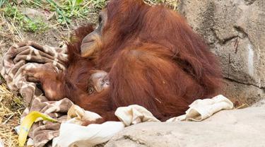Orangutan Sumatera ini lahir dari induk bernama Reese di Kebun Binatang New Orleans, Amerika Serikat (AP)