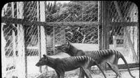 Dokumentasi harimau Tasmania di Tasmanian Museum and Art Gallery, Hobart, Australia. (AFP)