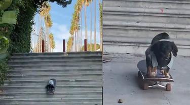 Anjing mahir main skateboard