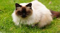 Kucing Himalaya  (sumber: Pixabay)