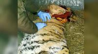 Harimau di Siberia yang minta tolong warga karena sakit gigi (Sikhote-Alin Nature Reserve)