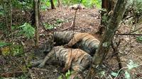 Tiga harimau sumatera ditemukan mati yang diperkirakan akibat jerat babi (dok.instagram/@kementerianlhk/https://www.instagram.com/p/CTCR3DWBUug/Komarudin)