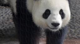 Panda betina Meng Meng berjalan dalam kandangnya di kebun binatang Zoologischer Garten, Berlin pada Rabu (14/8/2019). Meng Meng diketahui kawin pertama kali dengan panda jantan Jiao Qing yang berusia sembilan tahun April lalu. (Tobias SCHWARZ / AFP)