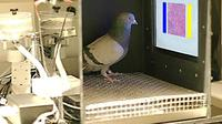 Ilmuwan Amerika yang melatih merpati hingga dapat mengidentifikasi sel-sel kanker ganas pada manusia.