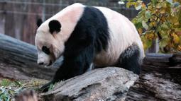 Panda raksasa Bei Bei memakan bambu sebelum kembali ke China, di Kebun Binatang Nasional Smithsonian, Washington DC, Selasa (19/11/2019). Disebutkan bahwa semua panda yang lahir di Kebun Binatang itu dan sudah berumur 4 tahun diharuskan tinggal di China. (AP/Michael A. McCoy)
