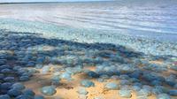 Ubur-ubur berwarna kebiruan di Pantai Deception Bay, Queensland, Australia. (Facebook/Charlotte Lawson)