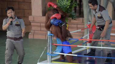 Dua orangutan bertanding kickboxing di atas sebuah ring saat pembukaan Phnom Penh Safari di Kamboja, Sabtu (23/6). Pertunjukan tinju orangutan banyak dikecam oleh aktivis hak-hak perlindungan terhadap binatang. (AFP/Tang Chhin Sothy)