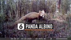 vertical albino