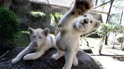 Sepasang anak singa putih berusia empat bulan bermain di kandang mereka di Kebun Binatang Altiplano di Tlaxcala, Meksiko, Selasa (7/8). Kebun binatang mengadakan kontes pemberian nama untuk mereka. (AP Photo/Rebecca Blackwell)