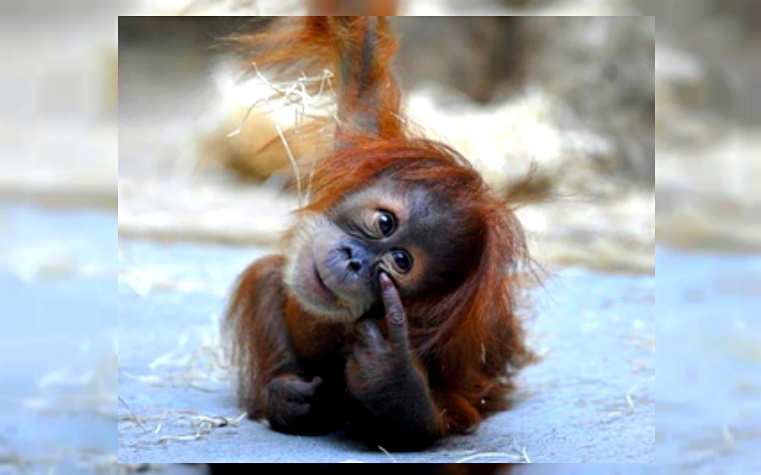 Universitas di Melbourne bekerja sama dengan kebun binatang di kota tersebut untuk melakukan penelitian terhadap orangutan.