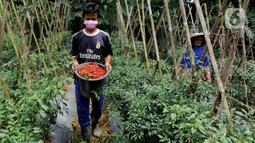 Petani memanen cabai keriting di kawasan Pesawah, Cicurug, Sukabumi, Rabu (22/04/2020). Sejak penerapan Pembatasan Sosial Berskala Besar (PSBB), sejumlah petani mengeluhkan harga cabai keriting di tingkat petani yang turun dari Rp 20 ribu per kg menjadi Rp 12 ribu per kg. (merdeka.com/Arie Basuki)