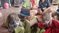 Fenomena langka kembali lagi terjadi, kali ini babi berkepala gajah berhasil membuat warga Thailand geger.