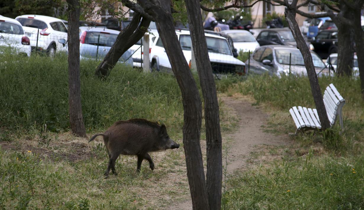 Seekor babi hutan berlari  di taman dekat dengan permukiman warga di Ajaccio, di Pulau Mediterania Prancis, Corsica (18/4/2020). Hari ke-33 karantina wilayah di Prancis sejumlah binatang liar memasuki wilayah permukiman dan perkotaan. (AFP/Pascal Pochard-Casabianca)