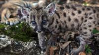 "Salah satu dari dua anak puma Amerika (juga dikenal singa gunung atau cougar) yang dilahirkan selama pandemi covid-19 terlihat di pusat penyelamatan dan rehabilitasi ""Africa Bio-Zoo"" di Cordoba, Meksiko pada 23 Mei 2020. Dua puma tersebut diberi nama Pandemi (betina) dan Karantina (jantan). (Victori"