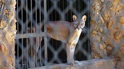 Seekor puma yang kurus berada di kandangnya di sebuah kebun binatang di Maracaibo, Venezuela, (14/2). Krisis ekonomi parah yang dialami Venezuela ternyata juga berdampak bagi kehidupan satwa-satwa di sana. (AFP Photo/Miguel Romero)