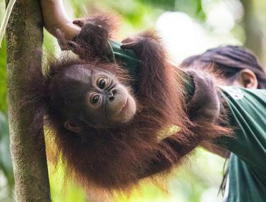 Sekolah untuk Orangutan di Kalimantan Timur
