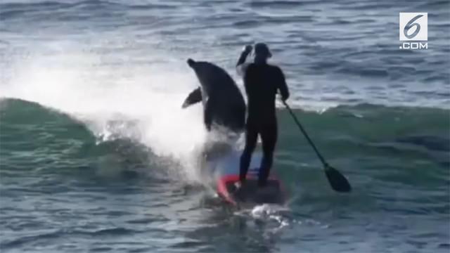 Pria peselancar ditabrak seekor lumba-lumba sehingga jatuh ke dalam air. Insiden itu terjadi di Gracetown, Australia Barat.