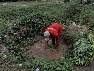 Aktivitas Petani Sayuran di Ibu Kota Melawan Kemarau