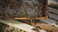 Ilustrasi lebah, (Dokumentasi VOA News dari EcOhio Farm, Mason di negara bagian Ohio, AS)