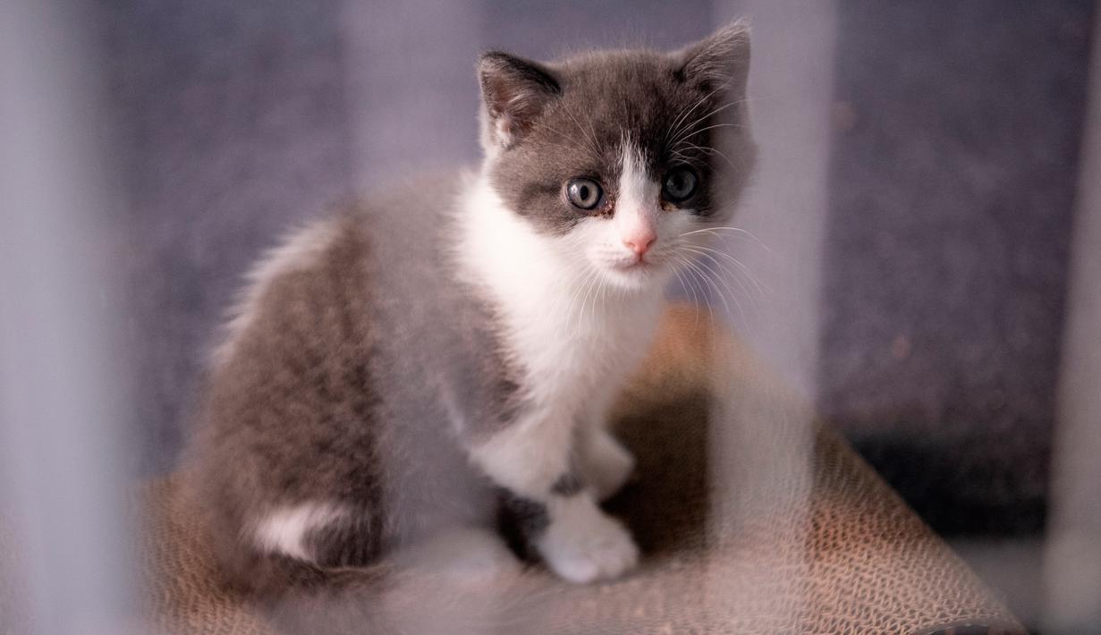 Foto Lucunya Kucing Hasil Kloning Pertama Di China Global Liputan6 Com