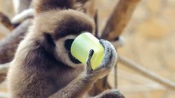 Seekor siamang meminum teh hangat di kebun binatang Debrecen, Budapest, Hungaria, Rabu (25/1). Pihak pengelola kebun binatang memberikan minuman hangat kepada para hewan untuk menghangatkan tubuh saat udara dingin. (Zsolt Czegledi/MTI via AP)