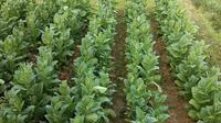 selain garam, pulau Madura juga terkenal dengan tembakaunya. daun hijau ini bahkan disebut 'daun emas' karena bisa mendatangkan banyak uang