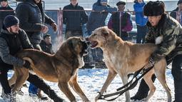 Dua pria memegang masing-masing anjing Alabay miliknya saat bersiap  memulai pertarungan di arena pertarungan bersalju di Kota Bishkek, Kyrgyzstan (18/11). (AFP Photo/Vyacheslav Oseledko)