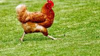 Ilustrasi ayam, hewan ovipar. (Photo by James Wainscoat on Unsplash)