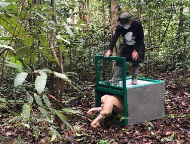 Alba, Orangutan Albino Kalteng Akhirnya Dilepasliarkan