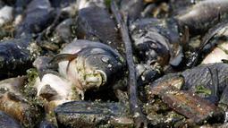 Kondisi ikan mas yang ditemukan mati mengapung di atas permukaan Sungai Eufrat dekat kota Sadat al Hindiya di Irak, Jumat (2/11). Belum diketahui penyebab ribuan ekor ikan mas yang diternak tersebut mati secara massal. (Haidar HAMDANI/AFP)