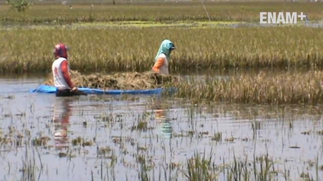 Ratusan Hektar sawah di Tuban Jawa Timur rusak akibat terendam banjir. Para petani terpaksa panen lebih awal meskipun dengan hasil seadanya.