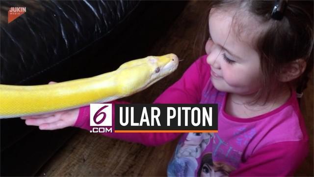 Seorang anak perempuan berusia 4 tahun bermain dengan ular piton. Ular piton tersebut memiliki panjang mencapai 3,6 meter.