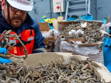 Petugas menunjukkan kuda laut yang disita dari sebuah kapal di Pelabuhan Callao, Peru, Senin (30/9/2019). Otoritas Peru berhasil menangkap kapal yang mengangkut 12,3 juta kuda laut kering. (Peruvian Ministry of Production/AFP)
