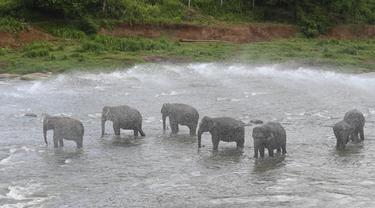 Seorang mahout menyemprotkan air ke gajah selama mandi harian di sungai di Panti Asuhan Gajah Pinnawala di Pinnawala, Kolombo (11/8/2020). Hari Gajah Sedunia dirayakan setiap tahun pada 12 Agustus untuk menyebarkan kesadaran tentang pelestarian dan perlindungan gajah. (AFP/Lakruwan Wanniarachchi)