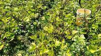 Petani Kacang Hijau. Dok Kementan