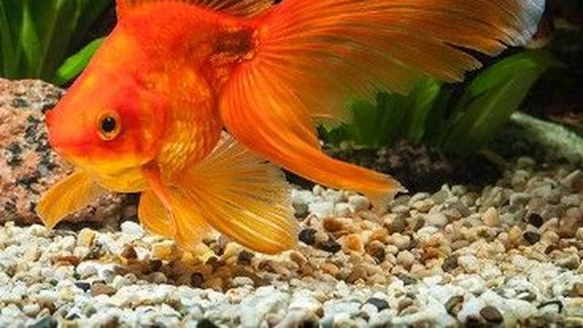 6 Jenis Ikan Mas Koki Termahal Dengan Warna Yang Cantik Hot Liputan6 Com