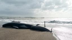 Penampakan paus pilot yang terdampar di Haast, pantai barat Pulau Selatan Selandia Baru, Kamis (5/4). (New Zealand Department of Conservation via AP)