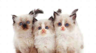 13 Ras Kucing Paling Menggemaskan Kamu Mau Pelihara Yang Mana Lifestyle Fimela Com