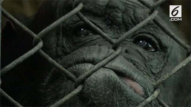 Rita adalah simpanse tertua, ia merayakan ulang tahun ke 58.