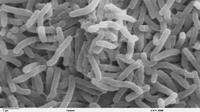 Bakteri kolera (Vibrio cholerae) tampak mikroskopis (Wikimedia / Creative Commons)