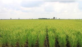 Menjelang Hari Pangan Sedunia 2018, padi di lahan sawah yang berada di Desa Jejangkit Muara, Kabupaten Barito Kuala, Kalimantan Selatan sudah siap panen.