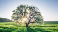 Ilustrasi pohon (iStock)