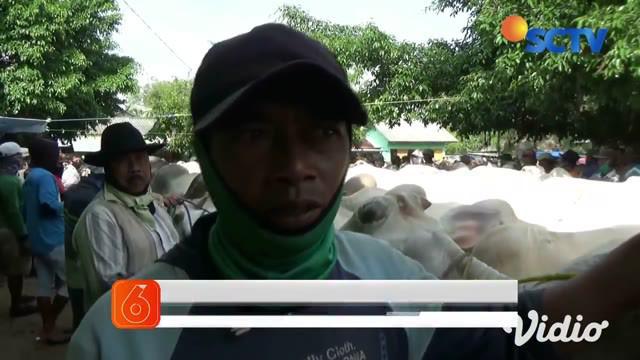 Meski Idul Adha, atau hari raya kurban tinggal beberapa hari lagi, namun hewan kurban di sejumlah tempat penjualan hewan kurban masih banyak karena tak terjual. Di pasar hewan di Tuban, banyak sapi yang sakit dan hendak mengamuk diduga karena kelelah...