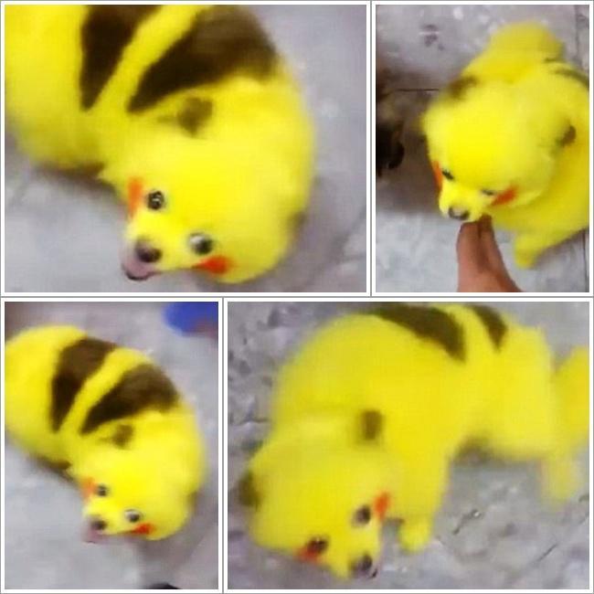 Demam Pokemon Go Seekor Anjing Dicat Agar Mirip Pikachu Lifestyle