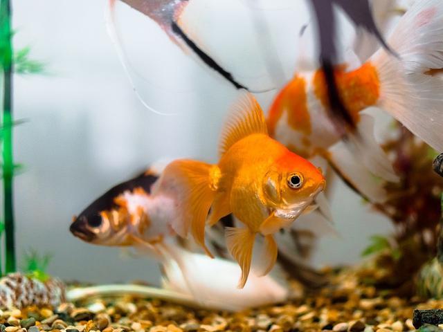 8 Cara Merawat Ikan Mas Koki Si Bulat Yang Menggemaskan Lifestyle Liputan6 Com