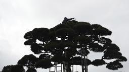 Seorang tukang kebun memangkas bagian atas pohon di Tokyo, Selasa (26/1/2021). Jepang mengonfirmasi lebih dari 1.000 kasus Virus Corona baru pada 26 Januari 2021. (AP Photo/Eugene Hoshiko)