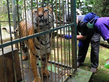Dokter hewan yang juga aktivis Animal Sanctuary Trust Indonesia (ASTI)  memeriksa Harimau Sumatera (Panthera tigris sumatrae) bernama Eva yang merupakan hasil sitaan di tempat Pusat Transit Satwa Gadog ASTI Bogor, Senin (11/3). (merdeka.com/arie basuki)