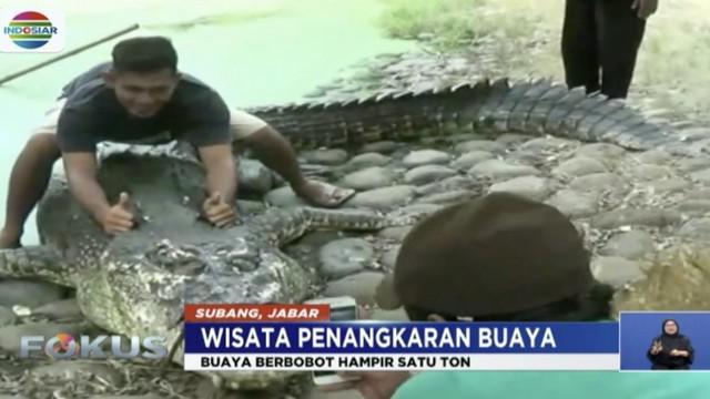 Di Subang, Jawa Barat, ada wisata alam ekstrem yang bisa berfoto dengan buaya raksasa seberat 1 ton.