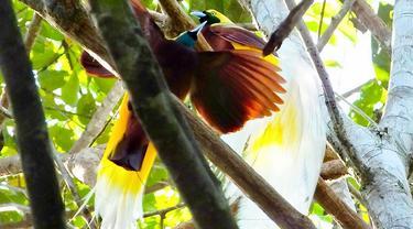 Menengok Burung Surga Cenderawasih di Pedalaman Tambrauw Papua